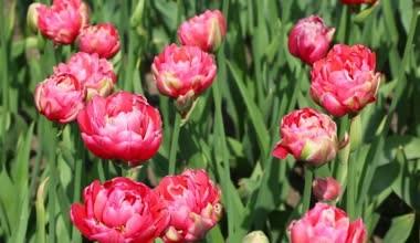Тюльпан Renown Unique смотреть