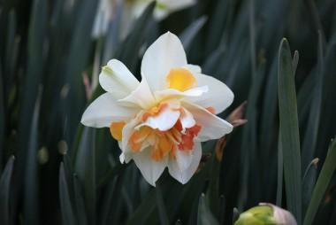 Нарцис Replete описание