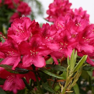 Рододендрон Nova Zembla фото цена