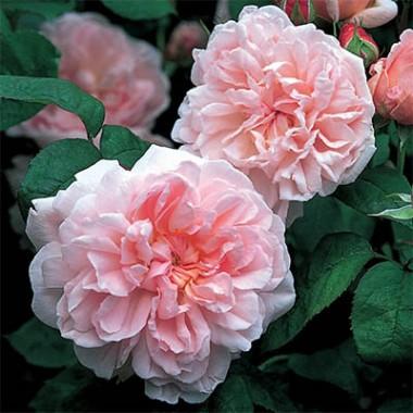 Троянда Eglantyne описание