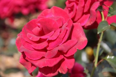 Троянда Grande Classe интернет-магазин