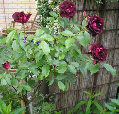 Троянда Burgundy Ice смотреть