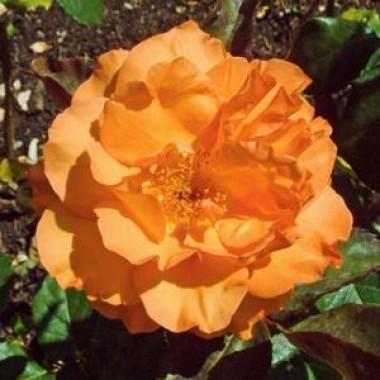 Троянда Doris Tijsterman фото