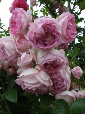 Троянда Jasmina купить онлайн