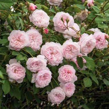 Троянда The Albrighton Rambler (плетиста) описание