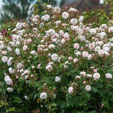 Троянда The Albrighton Rambler (плетиста) смотреть