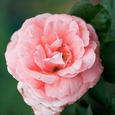 Троянда Amelia Renaissance фото цена
