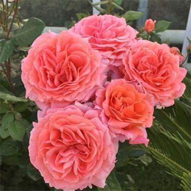 Троянда Amour De Molene купить онлайн
