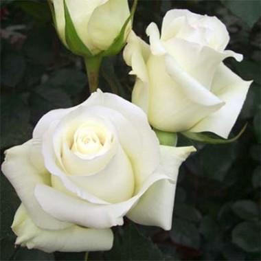 Троянда Anastasia почтой