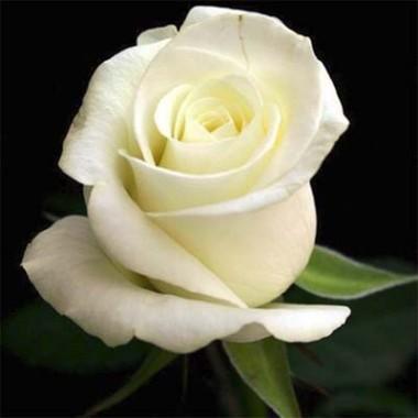 Троянда Anastasia фото цена