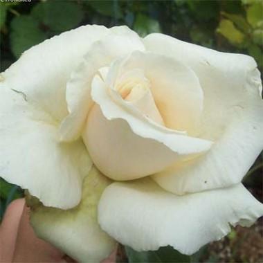 Троянда Anastasia описание