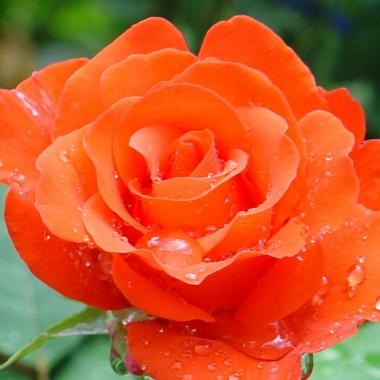 Троянда Angelique в киеве