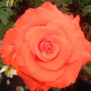 Троянда Angelique фото