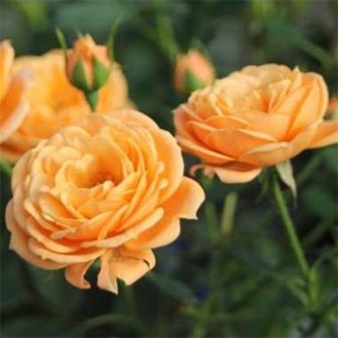 Троянда Apricot Clementine смотреть