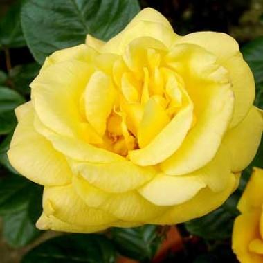 Троянда Arthur Bell фото