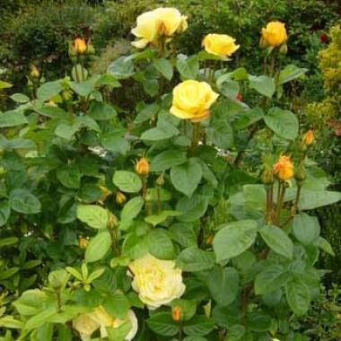 Троянда Arthur Bell описание