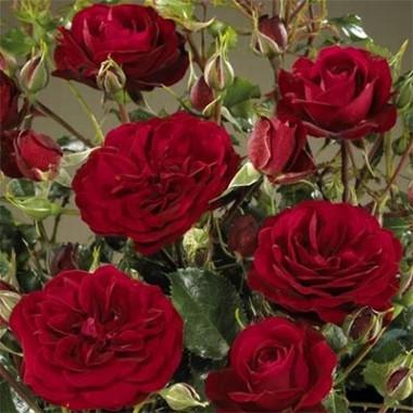 Троянда Balmoral описание