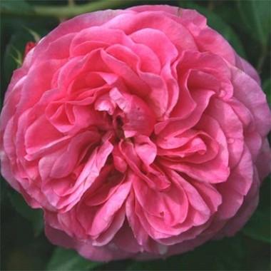 Троянда Baroness интернет-магазин