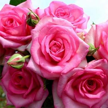 Троянда Beverly купить онлайн