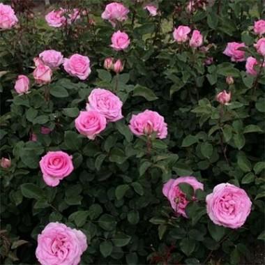 Троянда Beverly почтой