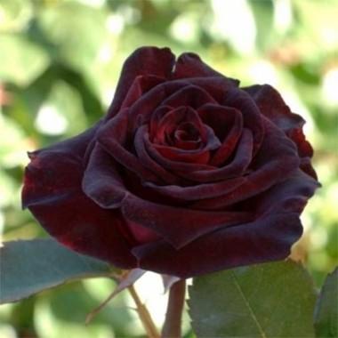 Троянда Black Baccara фото цена