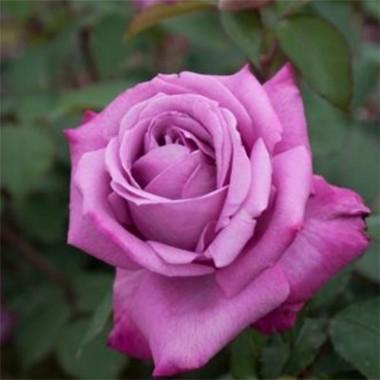 Троянда Blue Girl почтой