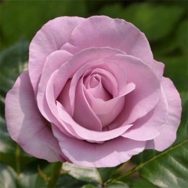 Троянда Blue Girl купить онлайн
