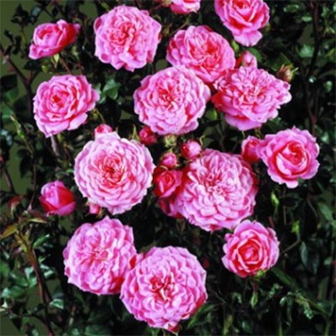Троянда Boogie-Woogie купить онлайн