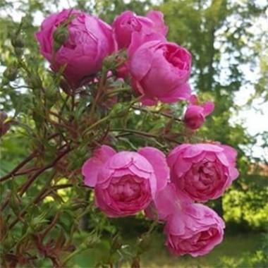 Троянда Boogie-Woogie описание