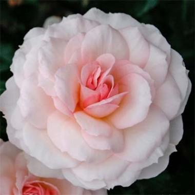 Троянда Bremer Stadtmusikanten в киеве