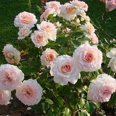 Троянда Bremer Stadtmusikanten почтой