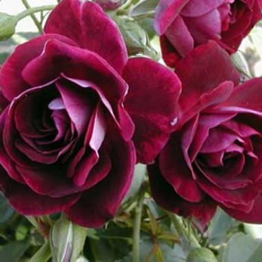 Троянда Burgundy Ice описание