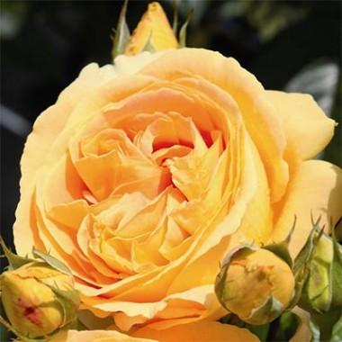 Троянда Candlelight купить онлайн