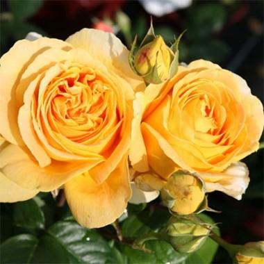 Троянда Candlelight почтой