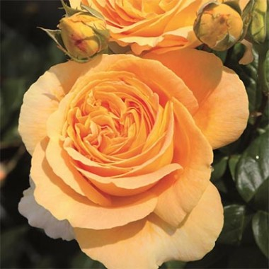 Троянда Candlelight фото