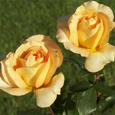 Троянди Макгрейді