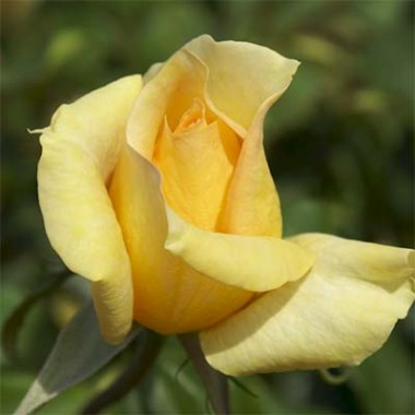 Троянда Casanova фото цена
