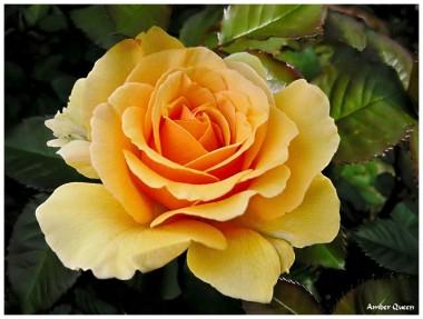 Троянда Amber Queen почтой