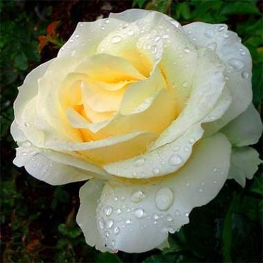 Троянда Chopin фото цена
