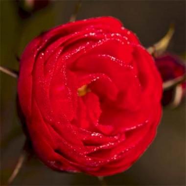 Троянда Cordula в киеве