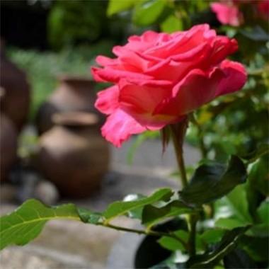 Троянда Corfu описание