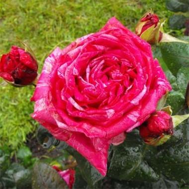 Троянда Crazy Fashion фото цена