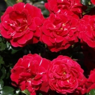 Троянда Dacapo почтой