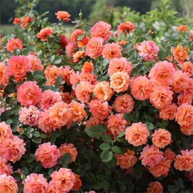 Троянда Easy Does It купить онлайн