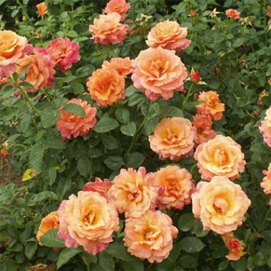 Троянда Easy Does It интернет-магазин