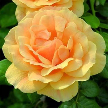 Троянда Easy Going купить онлайн