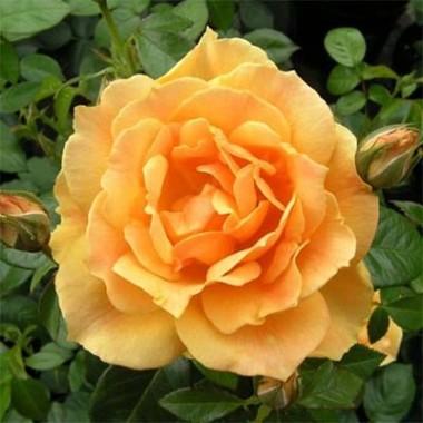 Троянда Easy Going фото цена