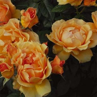 Троянда Easy Going фото
