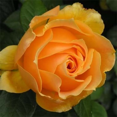 Троянда Easy Going почтой