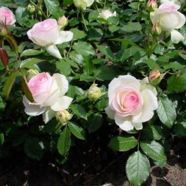 Троянда Eden Rose в киеве